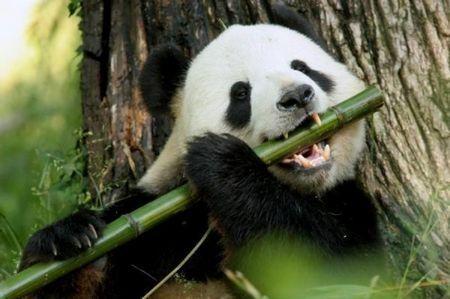 Велика панда більше не є вимираючим видом!