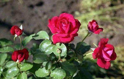 Троянди садові догляд і вирощування