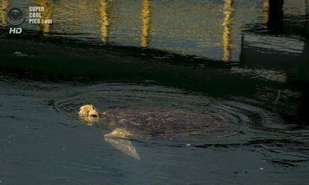 США. Форт-Пірс, Флорида. Зелена черепаха у впускному каналі, що несе воду до атомної електростанції Сент-Люсі. (Greg Lovett / The Palm Beach Post)