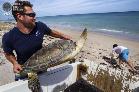 США. Форт-Пірс, Флорида. Біологи Джефф Гуертін і Дейв Кларк виносять черепах на узбережжі. (Greg Lovett / The Palm Beach Post)