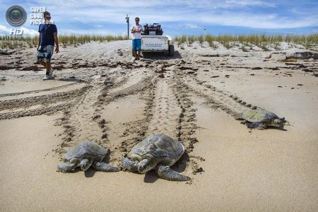 США. Форт-Пірс, Флорида. Після всіх пригод черепахи повертаються в океан цілими і здоровими. (Greg Lovett / The Palm Beach Post)