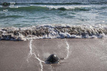 США. Форт-Пірс, Флорида. Зелена черепаха пливе у відкритий океан. (Greg Lovett / The Palm Beach Post)