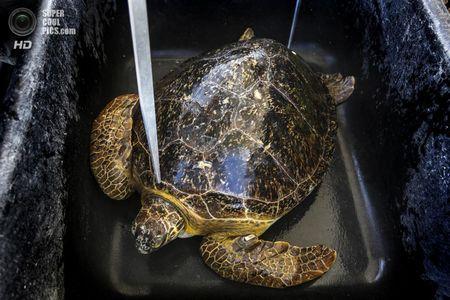 США. Форт-Пірс, Флорида. Зелена черепаха чекає своєї черги на зважування, вимірювання і позначку, а також надання ветеринарної допомоги в разі потреби. (Greg Lovett / The Palm Beach Post)