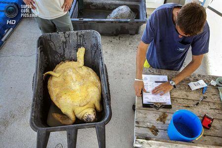 США. Форт-Пірс, Флорида. Біолог Джефф Гуертін записує показники черепахи. (Greg Lovett / The Palm Beach Post)