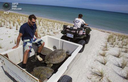 США. Форт-Пірс, Флорида. Біологи Джефф Гуертін і Дейв Кларк відвозять черепах на узбережжі. (Greg Lovett / The Palm Beach Post)